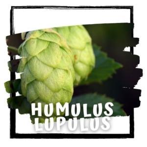 Humulus lupulus cupids love tea