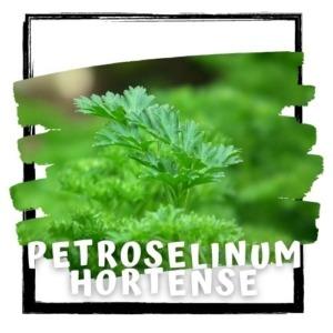 Petroselinum hortense